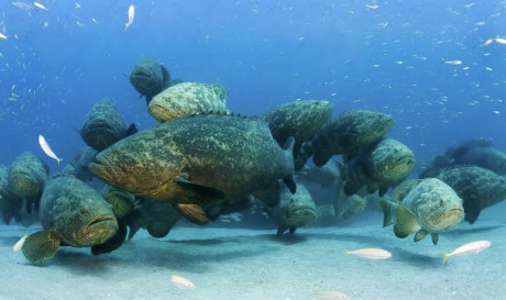 Goliath Grouper spawning aggregation or singles bar