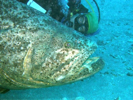 Goliath Grouper profile selfie. Copyright: Mark Eakin