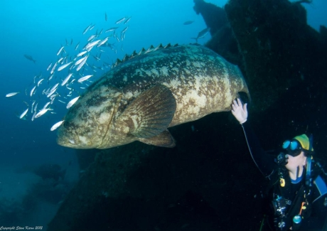 Goliath Grouper meets Dr. Sarah Frias-Torres. Photo Credit: Steve Karm