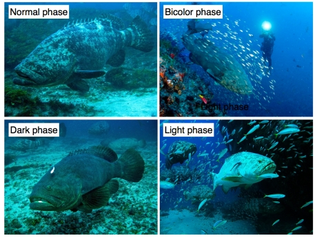Goliath groupers and their color phases. Photo Credit: Mike Phelan, Alang Chung