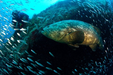 Goliath Grouper encounters Dr. Sarah Frias-Torres. Photo Credit: Alan Chung