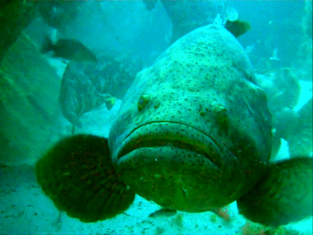 Grouper luna sexy groupers united for Goliath grouper fish