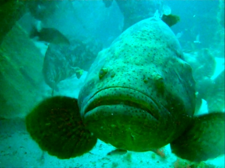 Goliath Grouper frontal selfie. Copyright: Sarah Frias-Torres
