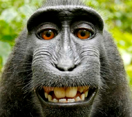 Monkey selfie. Copyright: the monkey